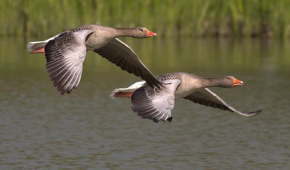 Geese Leading Each Other